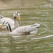 Bar-headed goose - Stock Photo