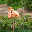 Greater flamingo — Stock Photo