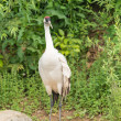 Red crowned crane - Stock Photo
