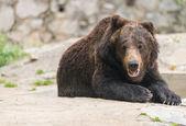 Uśmiech bear — Zdjęcie stockowe