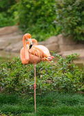 Greater flamingo — Stock Photo