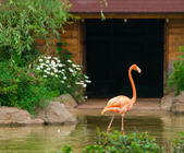 Greater flamingo — Foto Stock