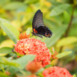Stock Photo: Great Mormon butterfly