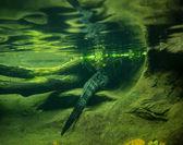 Crocodile tail — Stock Photo