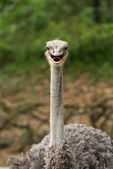 Smile Struthio camelus — Stock Photo