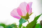 Pink petal — Stock Photo