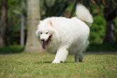 Walking dog — Stock Photo