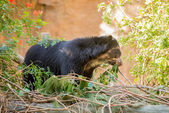 Bornean Sun Bear — Stock Photo
