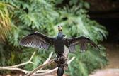 Cormorano pettobianco — Foto Stock