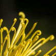 Stock Photo: Chrysanthemum petal