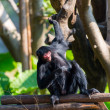 Black spider monkey — Stock Photo #38225689