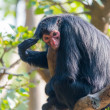 Black spider monkey — Stock Photo #38225739
