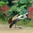 Stock Photo: Crowned crane