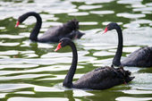 Black swans — Stock Photo
