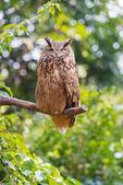 Night owl — Stock Photo