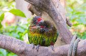 Parrots in love — Stock Photo