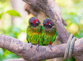 Parrot twin — Stock Photo