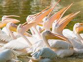 Swiming pelican — Stock Photo
