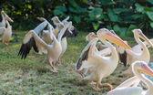 Pelikan yürüyüş — Stok fotoğraf