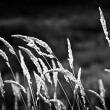 Wild grass in black and white — Stock Photo