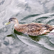 Royalty-Free Stock Photo: Duck on water