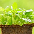 Green sweet basil plant — Stock Photo