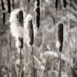 Cattails in winter — Stock Photo #27798487
