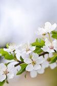 White cherry blossom flowers — Stock Photo
