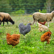 Chickens and sheep grazing on organic farm — Stock Photo #27801609