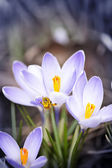 Bee on spring crocuses — Stock Photo