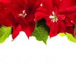 Christmas border with red poinsettias — Stock Photo #27838921