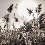 Backlit winter reeds — Stock Photo