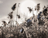 Backlit winter reeds — Stock Photo