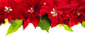 Christmas border with red poinsettias — Stok fotoğraf