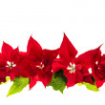 Arrangement with Christmas poinsettias — Stock Photo