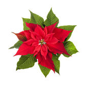 Christmas poinsettia plant isolated on white — Stock Photo