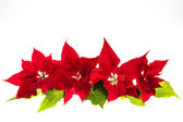 Arrangement with Christmas poinsettias — Stock Photo