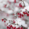 Stock Photo: Red winter berries under snow