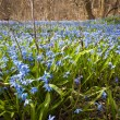 Spring blue flowers glory-of-the-snow — Photo
