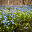 Spring blue flowers glory-of-the-snow — Stok fotoğraf