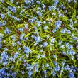 Spring blue flowers glory-of-the-snow — Stock Photo