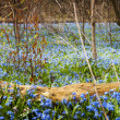 Carpet of blue flowers in spring forest — Stock Photo #27909767