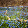 Spring blue flowers glory-of-the-snow — Stock Photo #27909795