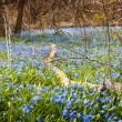 Carpet of blue flowers in spring forest — Stock Photo #27909891