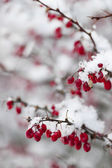 Red winter berries under snow — Stock Photo