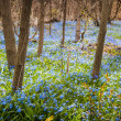 Carpet of blue flowers in spring forest — Stock Photo