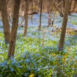 Carpet of blue flowers in spring forest — Stock Photo #27910057