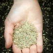 Hand holding grass seed — Stock Photo
