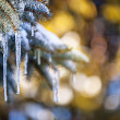 Icicles on fir tree in winter — Stock Photo