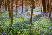 Spring meadow with blue flowers glory-of-the-snow — Stock Photo